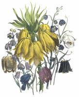 Fritillaria Flowers by Jane Webb Loudon