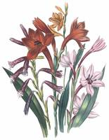 Watsonia Flowers by Jane Webb Loudon