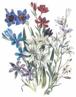 Babiana Flowers by Jane Webb Loudon