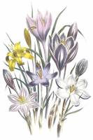 Crocus Flowers by Jane Webb Loudon
