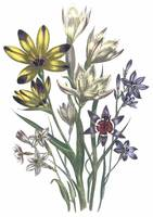 Geissorhiza Flowers by Jane Webb Loudon