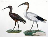 Ibises, from 'Description de l'Eypte', 1817