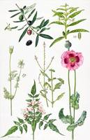 Opium Poppy and other plants