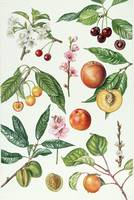 Cherries and other fruit-bearing trees