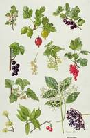 Currants and Berries