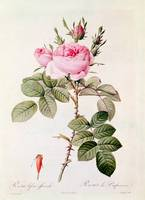 Rosa Bifera Officinalis, from Les Roses by Claude