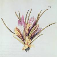 Saffron or Crocus, from La Guirlande de Julie, c.1