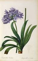 Agapanthus umbrellatus, from `Les Liliacees by Pie