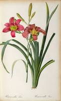 Hemerocallis fulva, from `Les Liliacees, 1805