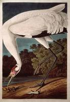 Whooping Crane, from 'Birds of America'