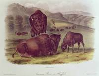 American Bison or Buffalo, from 'Quadrupeds of No