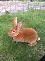 Red Mini Rex