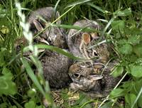 4-Baby-Bunnies-in-the-wild