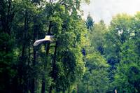 Great Blue Heron Flying Past the Trees Above Troja