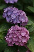 Lilac And Pink Hydrangea