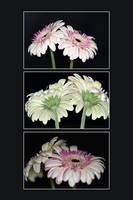 Pink And White Gerbera Triptych