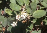 Manzanita and Bee