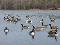 Geese Flock Together Because Of The Weather!