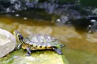 Yellow Bellied Slider Turtle (24752-RDB)