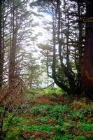 Cape Perpetua Trees 21299