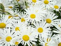 Daisy Flower Garden Art Prints White Daisies