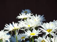 White Daisy Flowers Floral Art Prints Daisies