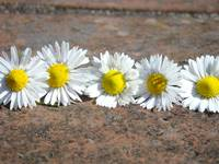 Little Lawn Daisies Flowers Decorative Art Prints