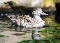 Just Ducky by Carol Groenen