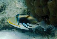 Picasso Triggerfish Expelling Sand From Guills