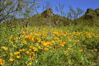 Picacho Peak Arizona Goldpoppies