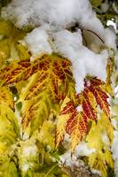 Red Maple Leaves In The Snow