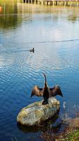 Female Anhinga Drying Her Wings
