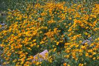 Picacho Peak Mexican Gold Poppies
