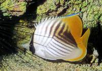 Threadfin Butterflifish