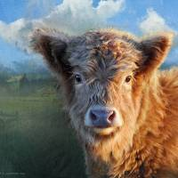 young highland cow by r christopher vest