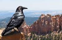 Raven of the Canyon