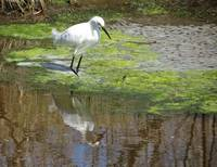 Snowy Egret at Chincoteague NWR