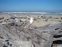 Driftwood Seagull bird Ocean Beach Coastal Shore