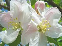 Apple Blossoms Tree Flowers Art Prints Spring