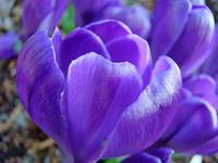 Purple Crocus Flower Art Prints Spring Garden