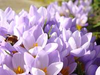 Crocus Flowers Spring Gardens gifts Art Prints