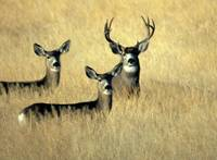 Mule deer buck with two does in open field