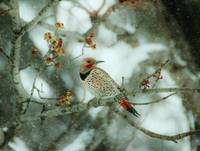 Flicker in the Snow