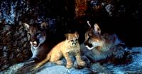 Two mountain lions and their cub