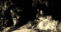 Two mountain lions and three cubs