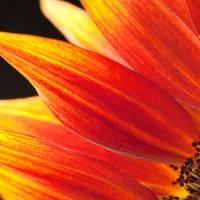 Sunflower #3 Art Prints & Posters by Rebecca Skinner