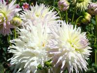 Dahlia White Flowers art prints floral gardens