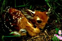 A baby fawn with a butterfly on their nose