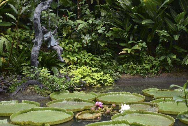 Giant Lily Pads Singapore 4434