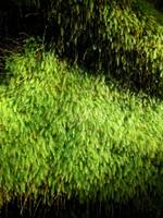 Hawaiian Rainforest Moss